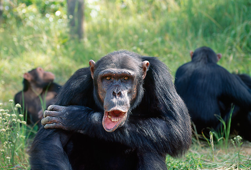 CHI 04 MH0003 01 © Kimball Stock Close-Up Of Chimpanzee Sitting In Savanna Africa With Mouth Open