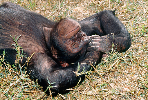 CHI 04 MH0004 01 © Kimball Stock Close-Up Of Chimpanzee Relaxing In Savanna Africa