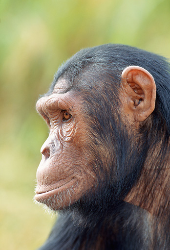 CHI 04 MH0007 01 © Kimball Stock Head Shot Of Chimpanzee In Savanna Africa Profile