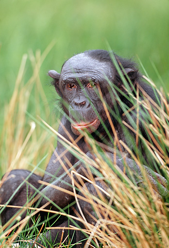 CHI 04 MH0008 01 © Kimball Stock Close-Up Of Chimpanzee Sitting In Grass In Savanna Africa