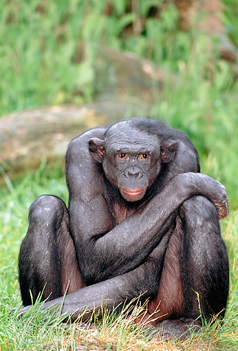 CHI 04 MH0009 01 © Kimball Stock Chimpanzee Sitting In Grass In Savanna Africa