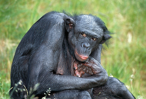 CHI 04 MH0010 01 © Kimball Stock Close-Up Of Chimpanzee Sitting In Grass In Savanna Africa