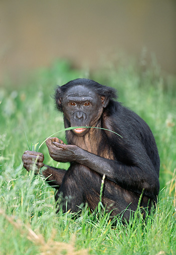 CHI 04 MH0013 01 © Kimball Stock Chimpanzee Sitting And Eating Grass In Savanna Africa