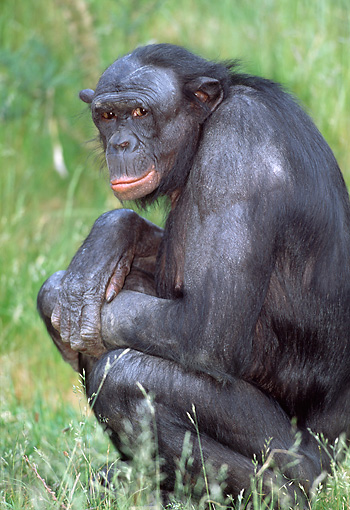 CHI 04 MH0014 01 © Kimball Stock Close-Up Of Chimpanzee Sitting In Grass In Savanna Africa
