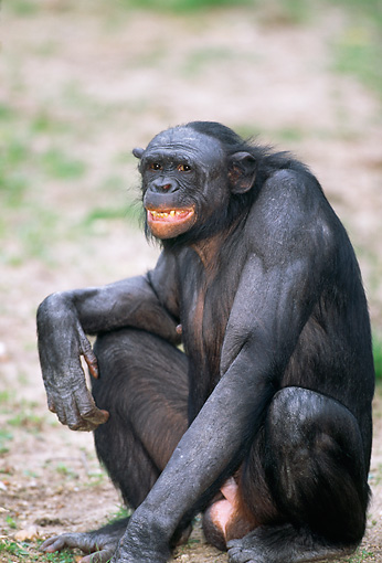 CHI 04 MH0015 01 © Kimball Stock Close-Up Of Chimpanzee Sitting On Savanna Africa