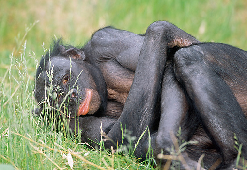 CHI 04 MH0016 01 © Kimball Stock Close-Up Of Chimpanzee Laying With Arms Crossed In Grass In Savanna Africa