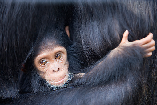 CHI 05 JZ0001 01 © Kimball Stock Close-Up Of Baby Chimpanzee Holding Onto Mother