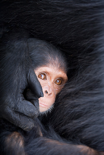 CHI 05 JZ0002 01 © Kimball Stock Close-Up Of Baby Chimpanzee Holding Onto Mother