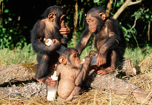 CHI 05 MH0001 01 © Kimball Stock Baby Chimpanzees Drinking Milk From Bottles In Savanna Africa