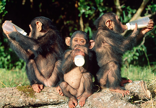 CHI 05 MH0002 01 © Kimball Stock Baby Chimpanzees Drinking Milk From Bottles In Savanna Africa