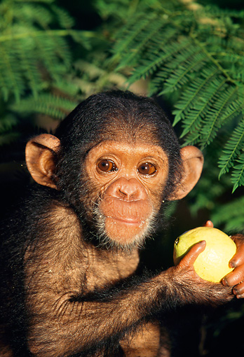 CHI 05 MH0003 01 © Kimball Stock Close-Up Of Baby Chimpanzee Sitting In Savanna Africa Holding Fruit