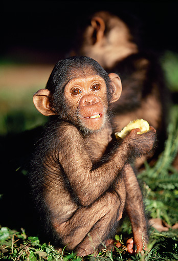 CHI 05 MH0004 01 © Kimball Stock Close-Up Of Baby Chimpanzee Sitting In Savanna Africa Holding Fruit