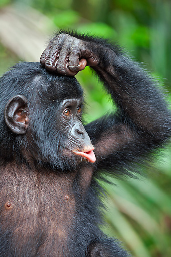CHI 05 MH0006 01 © Kimball Stock Portrait Of Bonobo Chimpanzee Baby Pouting In Rainforest