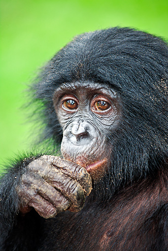 CHI 05 MH0007 01 © Kimball Stock Portrait Of Bonobo Chimpanzee Baby In Rainforest