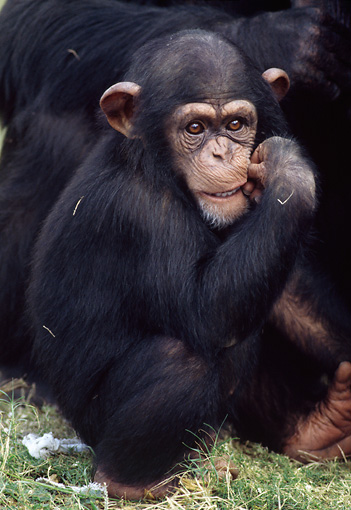 CHI 05 GR0001 01 © Kimball Stock Baby Chimpanzee Sitting In Grass Biting Thumb