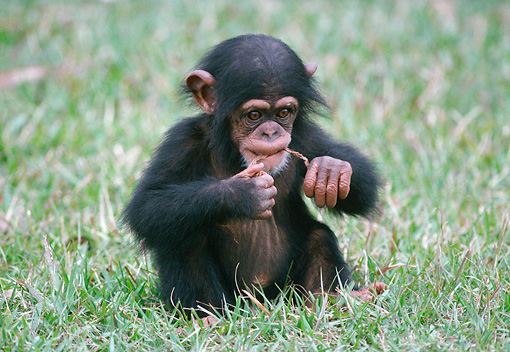 CHI 05 GR0002 01 © Kimball Stock Baby Chimpanzee Sitting In Grass Biting String