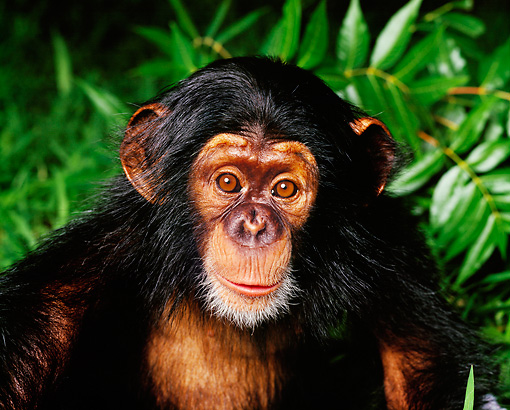 CHI 05 RK0001 24 © Kimball Stock Chimpanzee Bernie  Sitting In Green Foliage