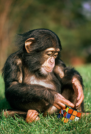 CHI 05 RK0020 09 © Kimball Stock Baby Chimpanzee Sitting On Grass Playing With Rubik's Cube