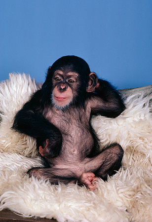 CHI 05 RK0021 03 © Kimball Stock Baby Chimpanzee Sitting On White Rug blue background