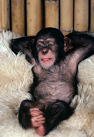 CHI 05 RK0023 02 © Kimball Stock Baby Chimpanzee Relaxing On White Rug Bamboo Background