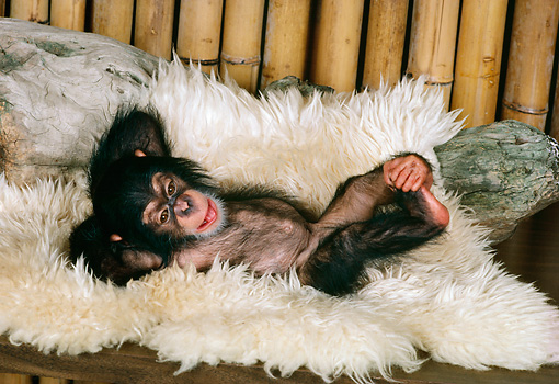 CHI 05 RK0024 04 © Kimball Stock Baby Chimpanzee Laying On White Rug Bamboo Background