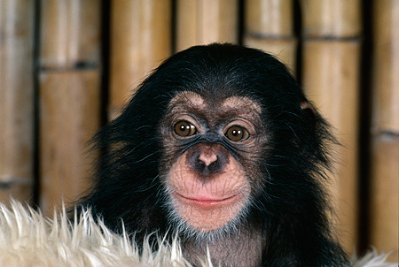 CHI 05 RK0026 07 © Kimball Stock Head Shot Of Baby Chimpanzee On White Rug Bamboo Background