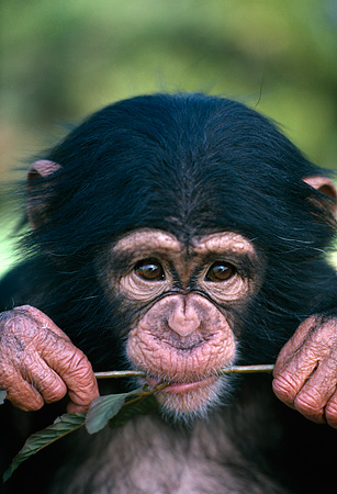 CHI 05 RK0029 06 © Kimball Stock Head Shot Of Baby Chimpanzee With Flower Stem In Mouth