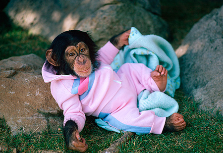 CHI 05 RK0030 15 © Kimball Stock Baby Chimpanzee In Outfit Laying On Blanket Playing With Cube