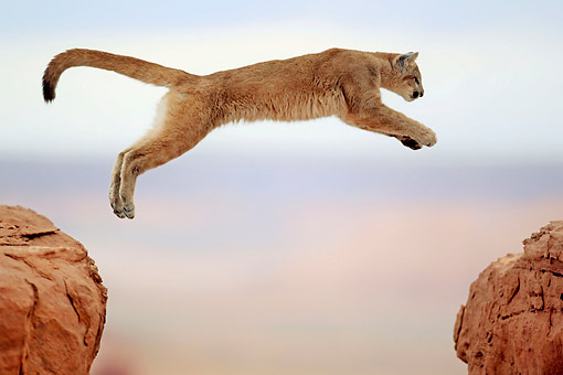 COU 01 AC0005 01 © Kimball Stock Mountain Lion (Cougar) Leaping Across Rocks In Monument Valley, Utah, USA