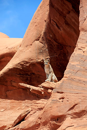 COU 01 AC0007 01 © Kimball Stock Mountain Lion (Cougar) Looking Out Over Desert In Monument Valley, Utah, USA