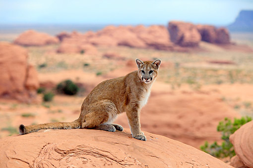 COU 01 AC0008 01 © Kimball Stock Mountain Lion (Cougar) Looking Out Over Desert In Monument Valley, Utah, USA