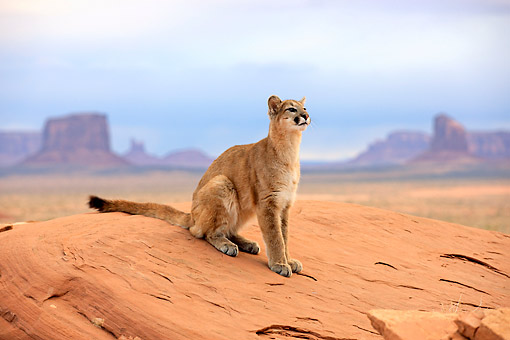 COU 01 AC0009 01 © Kimball Stock Mountain Lion (Cougar) Looking Out Over Desert In Monument Valley, Utah, USA