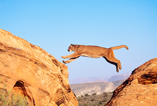 COU 01 BA0001 01 © Kimball Stock Cougar Leaping On Rock Mountain Profile