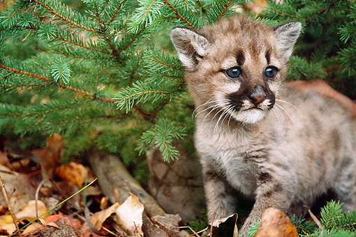 COU 01 BA0003 01 © Kimball Stock Close-Up Of Cougar Cub Standing In Brush