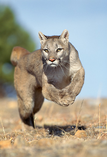 COU 01 GL0003 01 © Kimball Stock Portrait Of Cougar Running Through Field