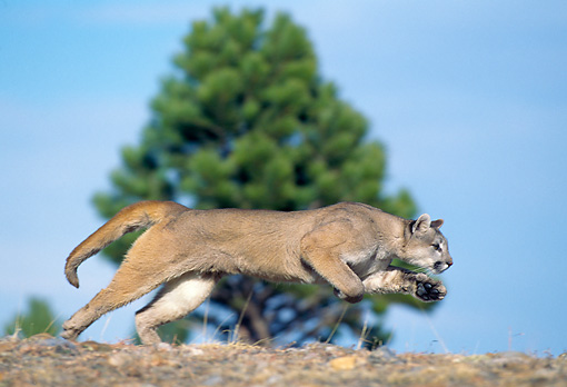 COU 01 GL0006 01 © Kimball Stock Cougar Running In Meadow Profile