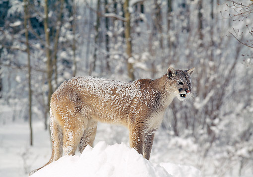COU 01 GL0010 01 © Kimball Stock Mountain Lion Standing In Snowy Woods