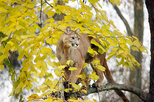COU 01 GL0012 01 © Kimball Stock Cougar Standing In Tree