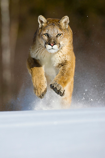 COU 01 KH0002 01 © Kimball Stock Mountain Lion Running In Snow