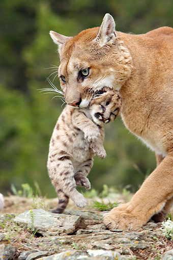 COU 01 KH0005 01 © Kimball Stock Mountain Lion Mother Carrying Cub In Mouth