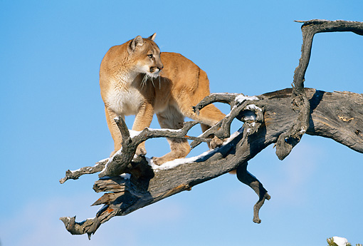 COU 01 KH0006 01 © Kimball Stock Mountain Lion Climbing On Snowy Tree Branch