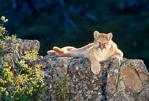COU 01 KH0007 01 © Kimball Stock Mountain Lion Laying On Boulder