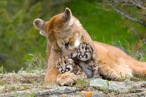 COU 01 KH0009 01 © Kimball Stock Mother Cougar Grooming Cubs