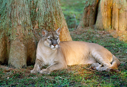 COU 01 LS0006 01 © Kimball Stock Florida Panther Resting By Tree