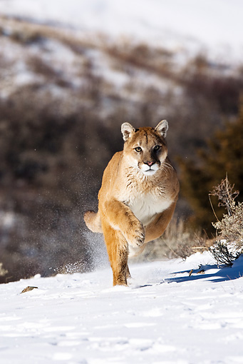 COU 01 MC0001 01 © Kimball Stock Cougar Running Through Snow