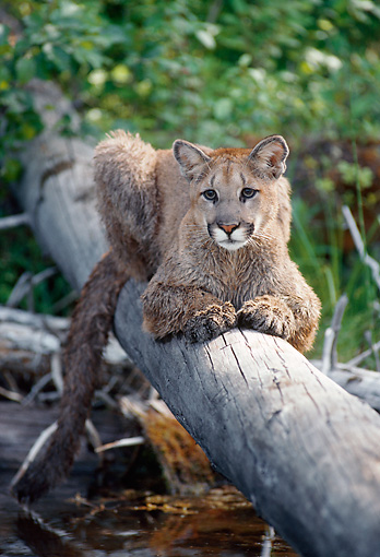 COU 01 MC0003 01 © Kimball Stock Cougar Laying On Log Over River Montana