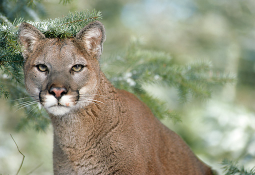 COU 01 MC0004 01 © Kimball Stock Portrait Of Cougar By Pine Trees Montana