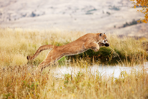COU 01 MC0006 01 © Kimball Stock Cougar Hunting In Meadow Near Pond Montana