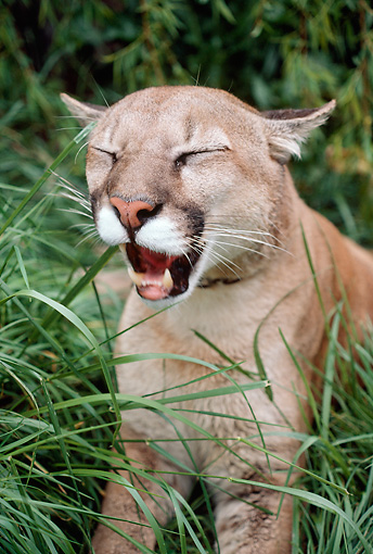COU 01 RK0078 01 © Kimball Stock Close Up Of Cougar Laying In Grass Yawning