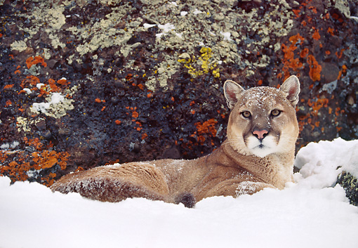 COU 01 RK0114 07 © Kimball Stock Cougar Laying In Snow By Rock